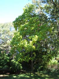 the mystery tree