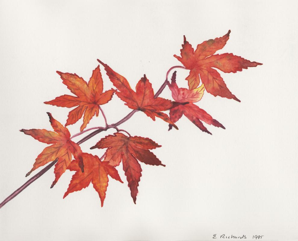 Maple Leaf Pencil Drawing