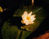 A hardy lily...