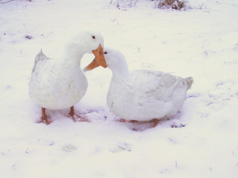 Ducks in Snow © 2003 Sumi von Dassow